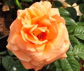 Rosa 'Indian Summer' Pearce 1991 grootbloemig1