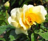 Rosa 'Sunny Yellow' syn 'Gold Star' grootbloemig theehybride